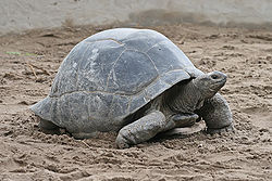 Negligibly Senescent Aldebra Giant Tortoise - photo wikipedia.org